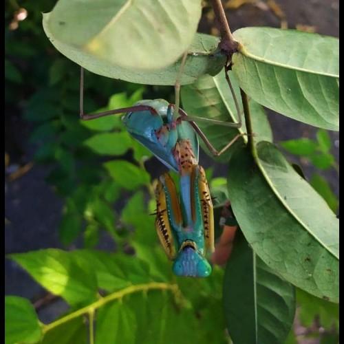 Hierodula sp. Papua
